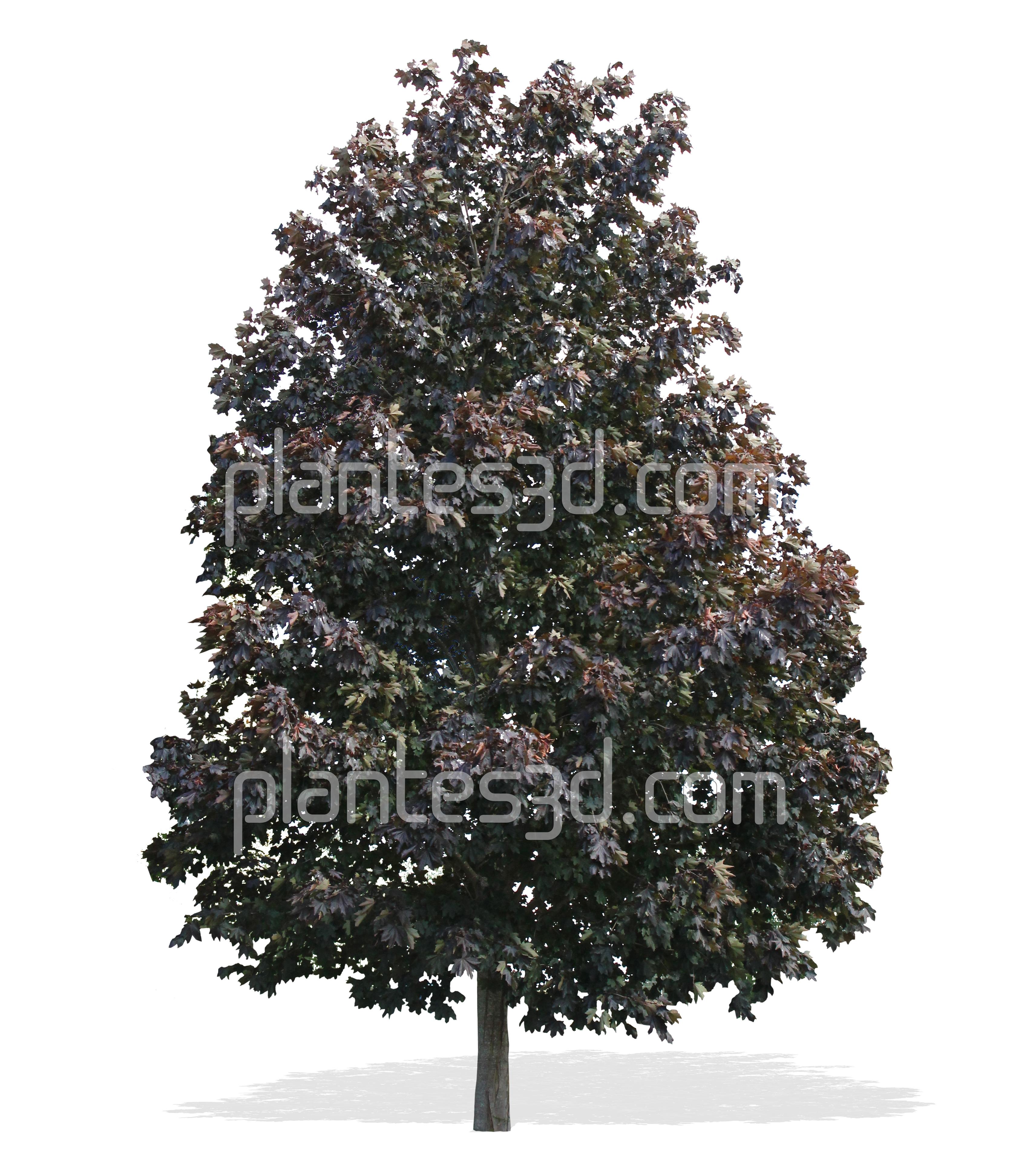 Acer Platanoides   Erable Détouré Pour Images 3D. Arbre Gratuit Png.free Png Tree - Lit Gratuit, Transparent background PNG HD thumbnail