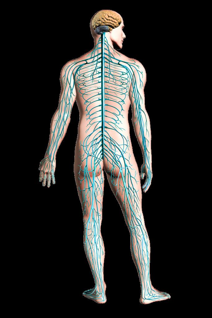 PNG Nervous System