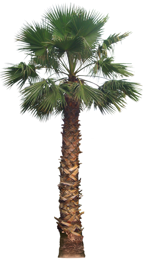 20 Free Tree Png Images   Washingtoniafil02L - Palm Tree, Transparent background PNG HD thumbnail