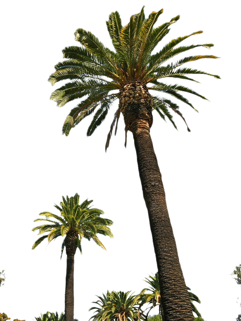 Palm Tree Tube Stock Ii Png By Digitaltwist Hdpng.com  - Palm Tree, Transparent background PNG HD thumbnail