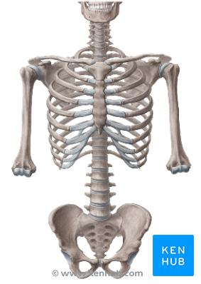 Png Skeleton Bones - Png Skeleton Bones Hdpng.com 283, Transparent background PNG HD thumbnail