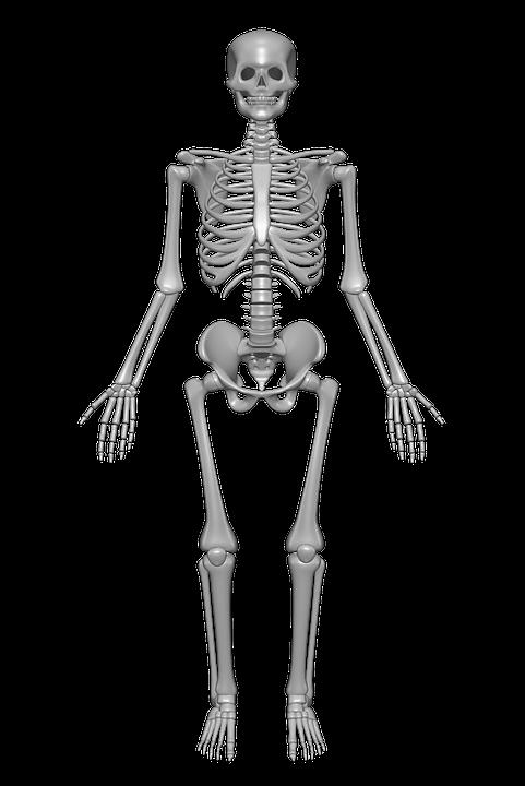 Png Skeleton Bones - Human Skeleton, Bones, Skull, Anatomy, Skeleton, Transparent background PNG HD thumbnail