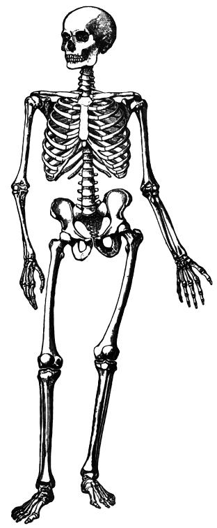 Png Skeleton Bones - Simple Skeleton   /medical/anatomy/bones/skeletons/simple_Skeleton.png.html, Transparent background PNG HD thumbnail
