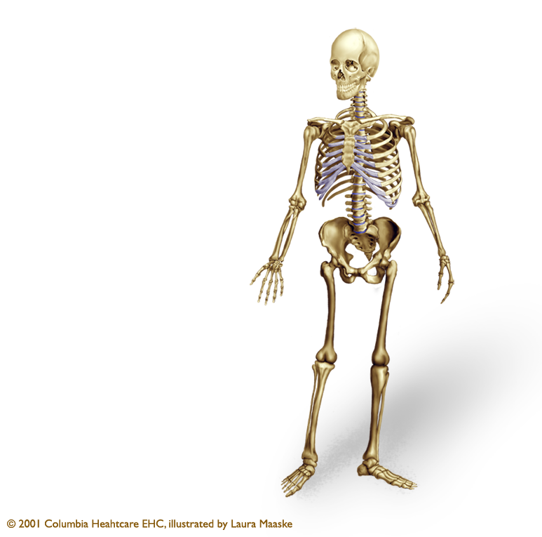 Png Skeleton Bones - The Human Skeleton Has Two Major Components: The Axial Skeleton And The Appendicular Skeleton. The Axial Skeleton Creates The Upright Stature Of The Human Hdpng.com , Transparent background PNG HD thumbnail