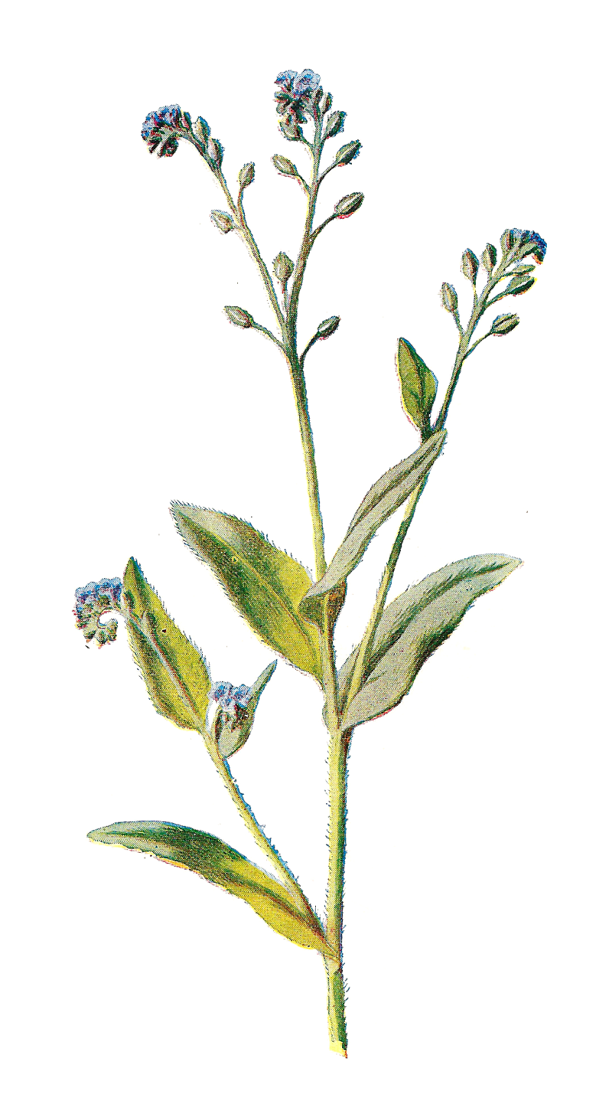 Wildflower Cliparts - Wildflowers, Transparent background PNG HD thumbnail