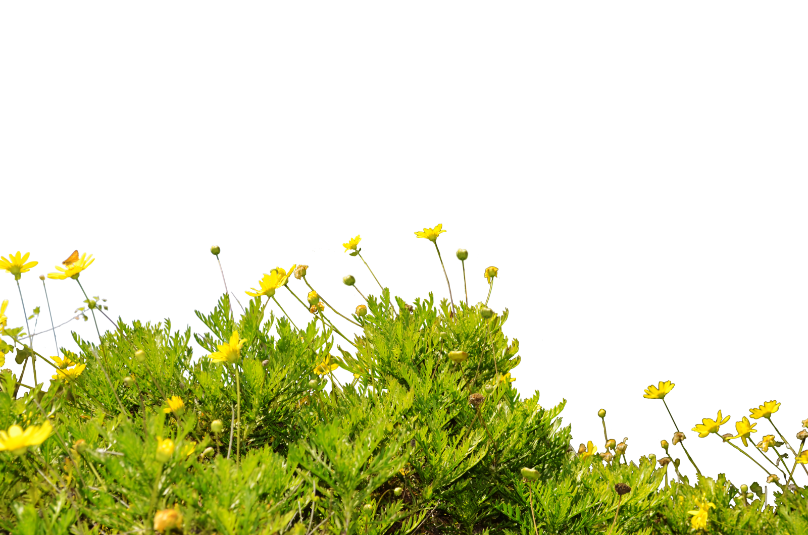 . Hdpng.com Yellow Wildflower Ground Cover Stockphoto 0090 Png By Annamae22 - Wildflowers, Transparent background PNG HD thumbnail