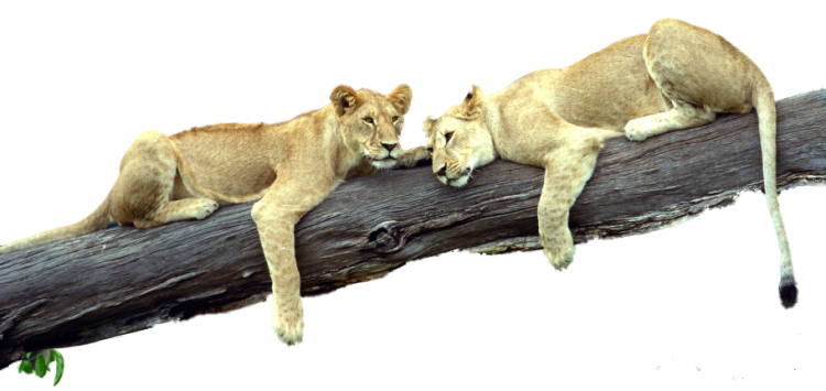 Female Lion In A Lying In A Tree At The Zoo - Wildlife, Transparent background PNG HD thumbnail