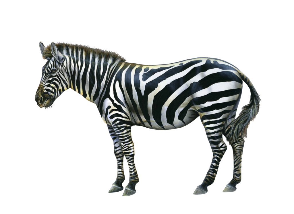 Png Zebra By Moonglowlilly Hdpng.com  - Zebra, Transparent background PNG HD thumbnail