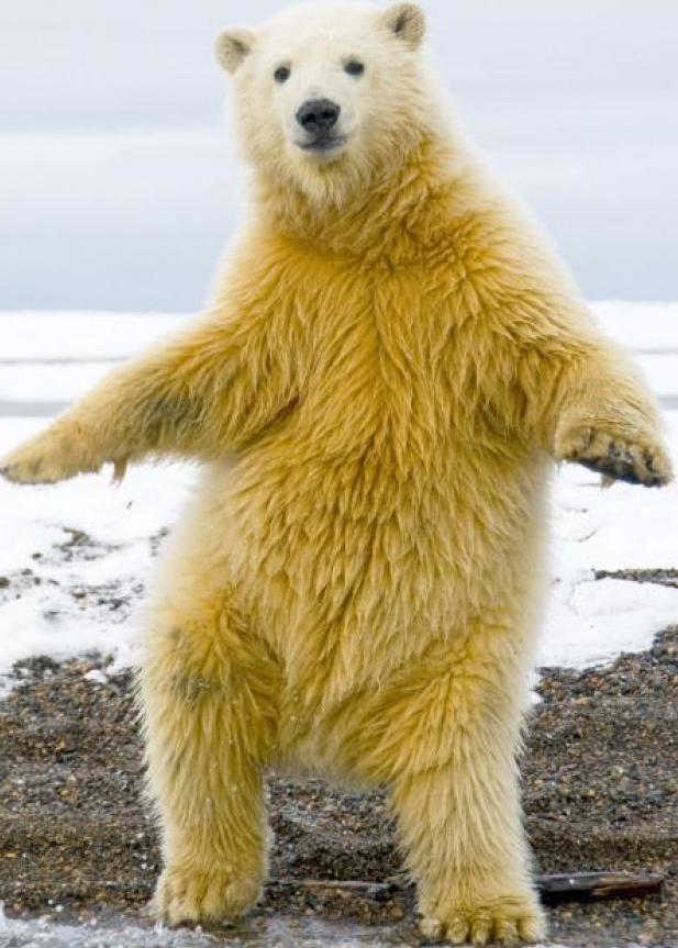 Cutout - Polar Bear, Transparent background PNG HD thumbnail