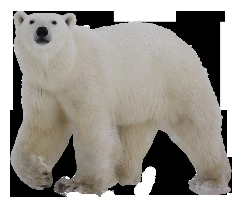 Download Polar Bear Png Images Transparent Gallery. Advertisement - Polar Bear, Transparent background PNG HD thumbnail