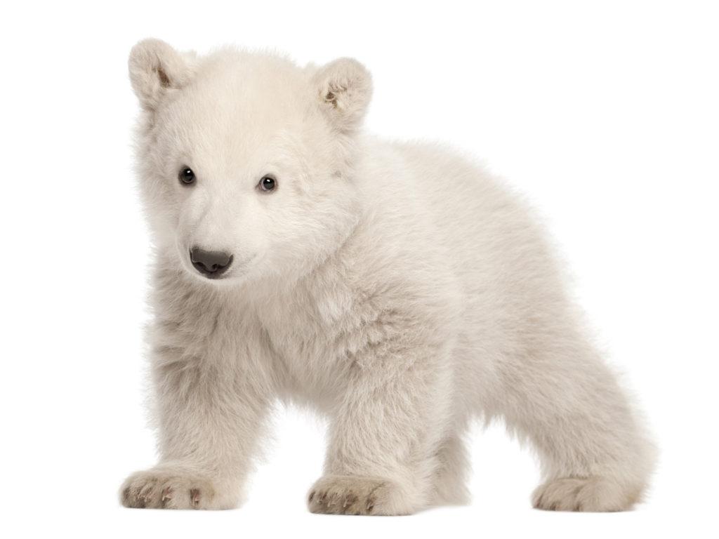 Polar Bear Cub   Ursus Maritimus (3 Months Old) - Polar Bear, Transparent background PNG HD thumbnail