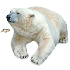 Polar Bear.png - Polar Bear, Transparent background PNG HD thumbnail