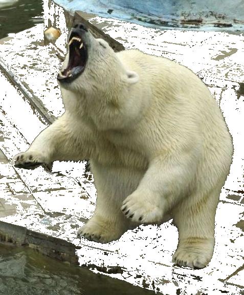Polar Bear Png Clipart - Polar Bear, Transparent background PNG HD thumbnail