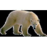 Polar Bear Png Clipart Png Image - Polar Bear, Transparent background PNG HD thumbnail