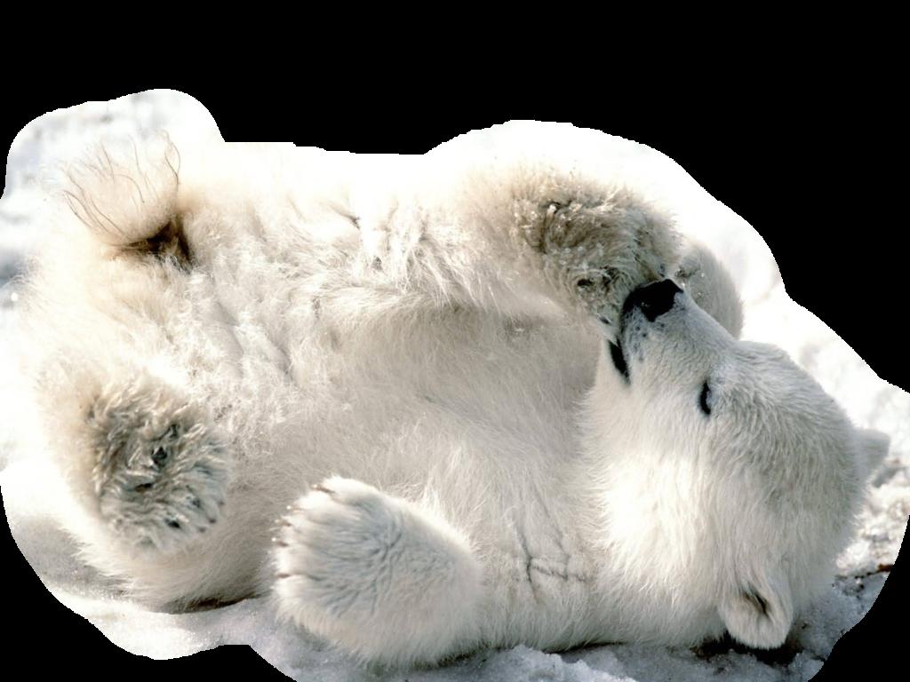 Polar Bear Png Transparent Image - Polar Bear, Transparent background PNG HD thumbnail