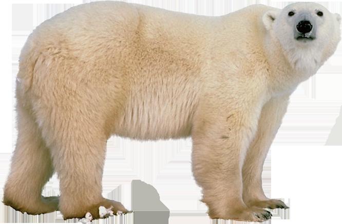 Polar White Bear Png - Polar Bear, Transparent background PNG HD thumbnail
