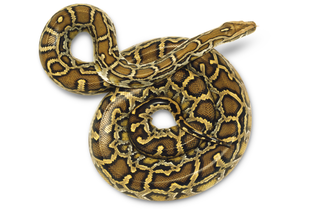 Python Snake Png - Dctm Penguin Uk Dk Al502141 Risqjj, Transparent background PNG HD thumbnail