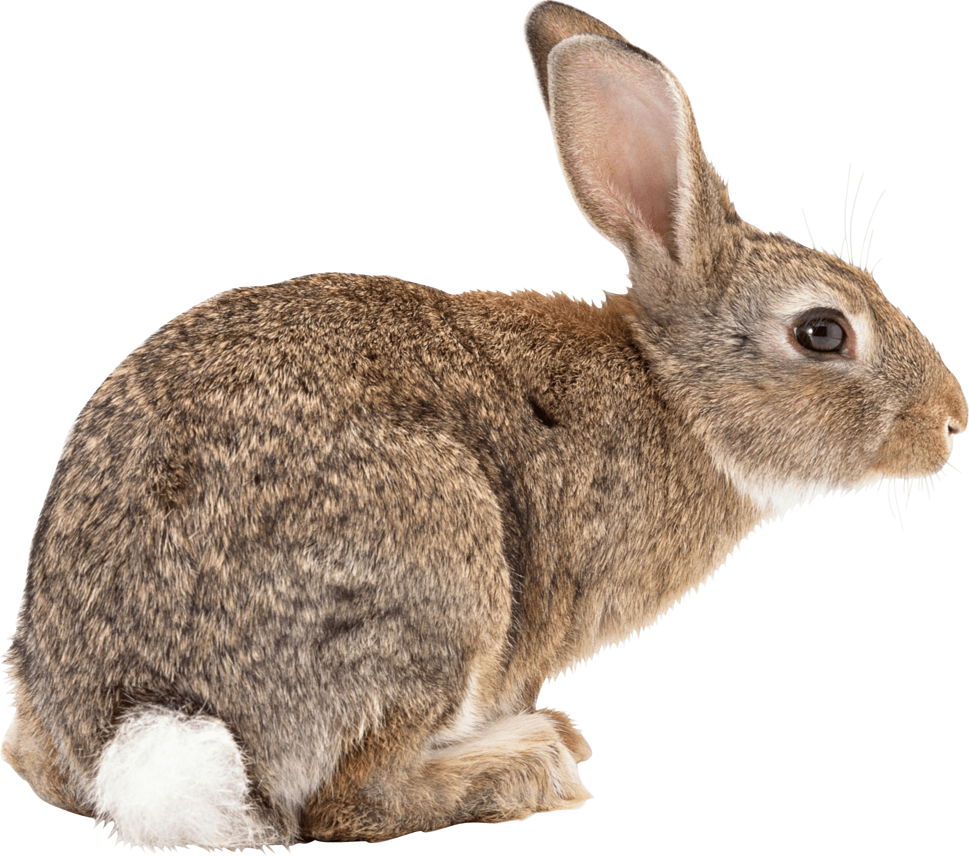 Rabbit Png Image #40318 - Rabbit, Transparent background PNG HD thumbnail