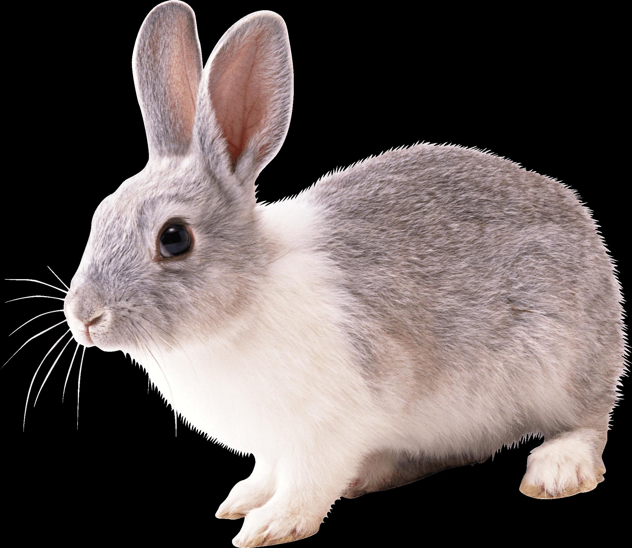 Rabbit Png Image Png Image - Rabbit, Transparent background PNG HD thumbnail