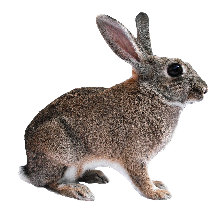 Rabbit Png Transparent Image - Rabbit, Transparent background PNG HD thumbnail