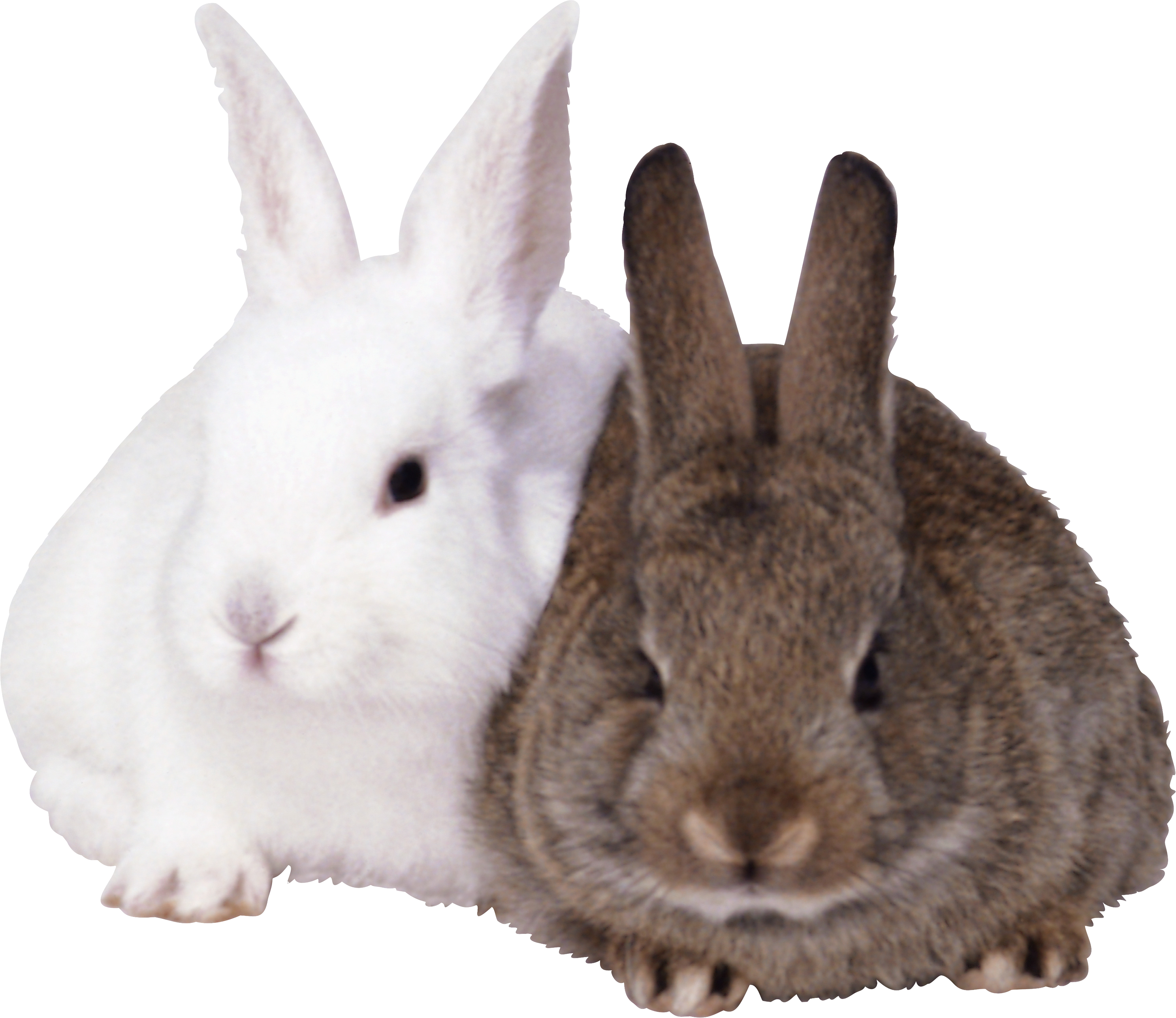 Rabbits Png - Rabbit, Transparent background PNG HD thumbnail