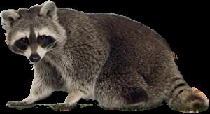 Raccoon PNG