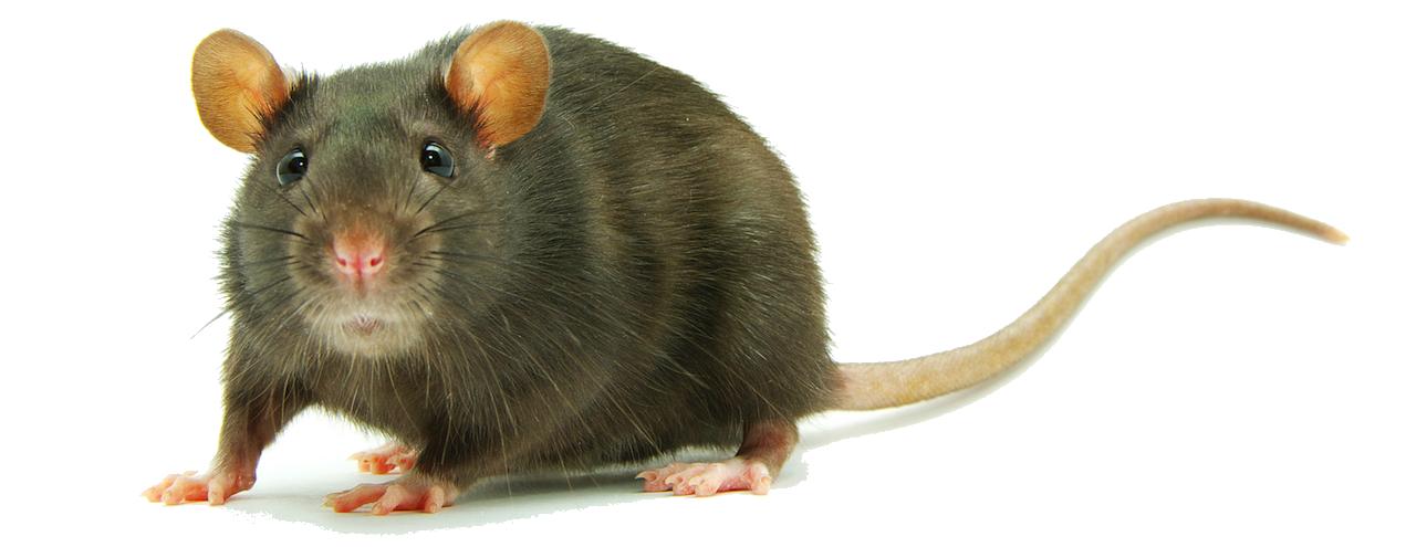Rat PNG