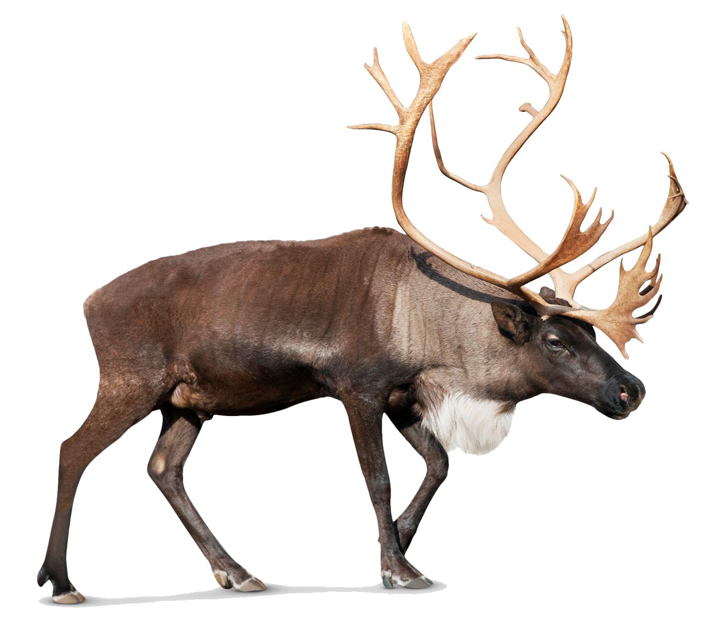 Reindeer Png Photos - Reindeer, Transparent background PNG HD thumbnail