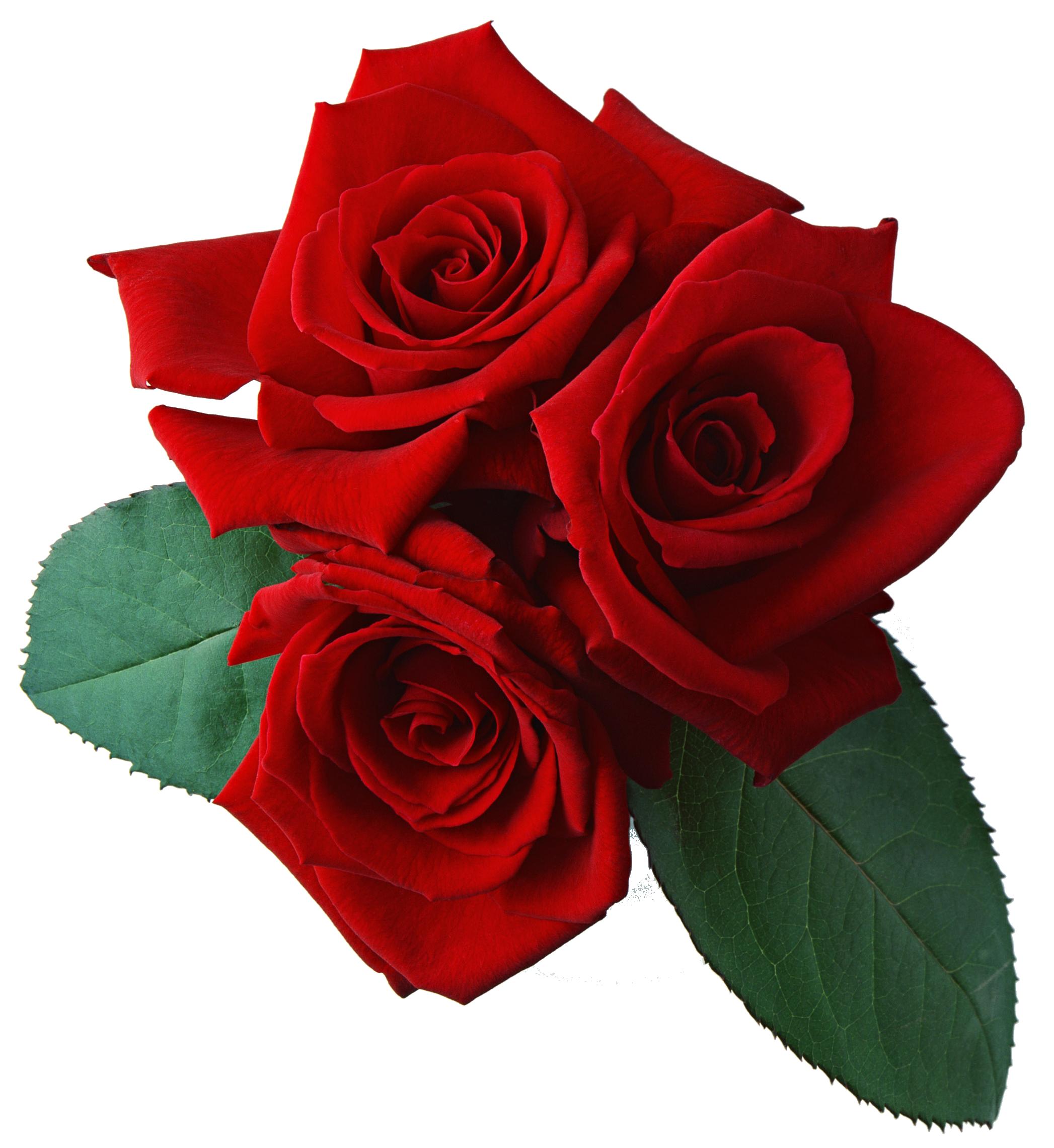Rose PNG HD