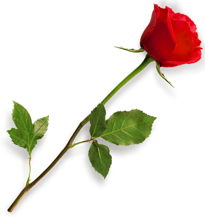 Rose PNG HD, Rose HD PNG - Free PNG