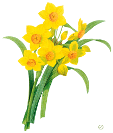 Show / Hide Images - Daffodils, Transparent background PNG HD thumbnail