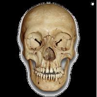 Skeleton Head Png File Png Image - Skeleton Head, Transparent background PNG HD thumbnail