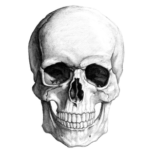 Skull   Free Images At Clker Pluspng.com   Vector Clip Art Online, Royalty Free U0026 Public Domain - Skeleton Head, Transparent background PNG HD thumbnail
