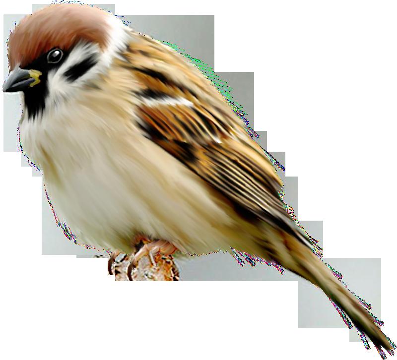 Sparrow Png - Sparrow, Transparent background PNG HD thumbnail