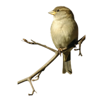 Sparrow Png Image Png Image - Sparrow, Transparent background PNG HD thumbnail