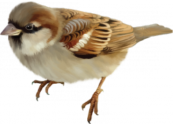 Sparrow · Squirrel Png - Sparrow, Transparent background PNG HD thumbnail