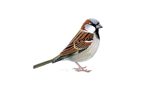 Sparrows Tend To Prefer Living In Close Approximation To People. The Sparrow Is A Brown Chunky Bird. The Male Has A Distinctive Black Bib With The Female Hdpng.com  - Sparrow, Transparent background PNG HD thumbnail