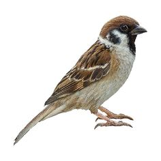 Tree Sparrow Clipart Graphics (Free Clip Art Found On Polyvore - Sparrow, Transparent background PNG HD thumbnail