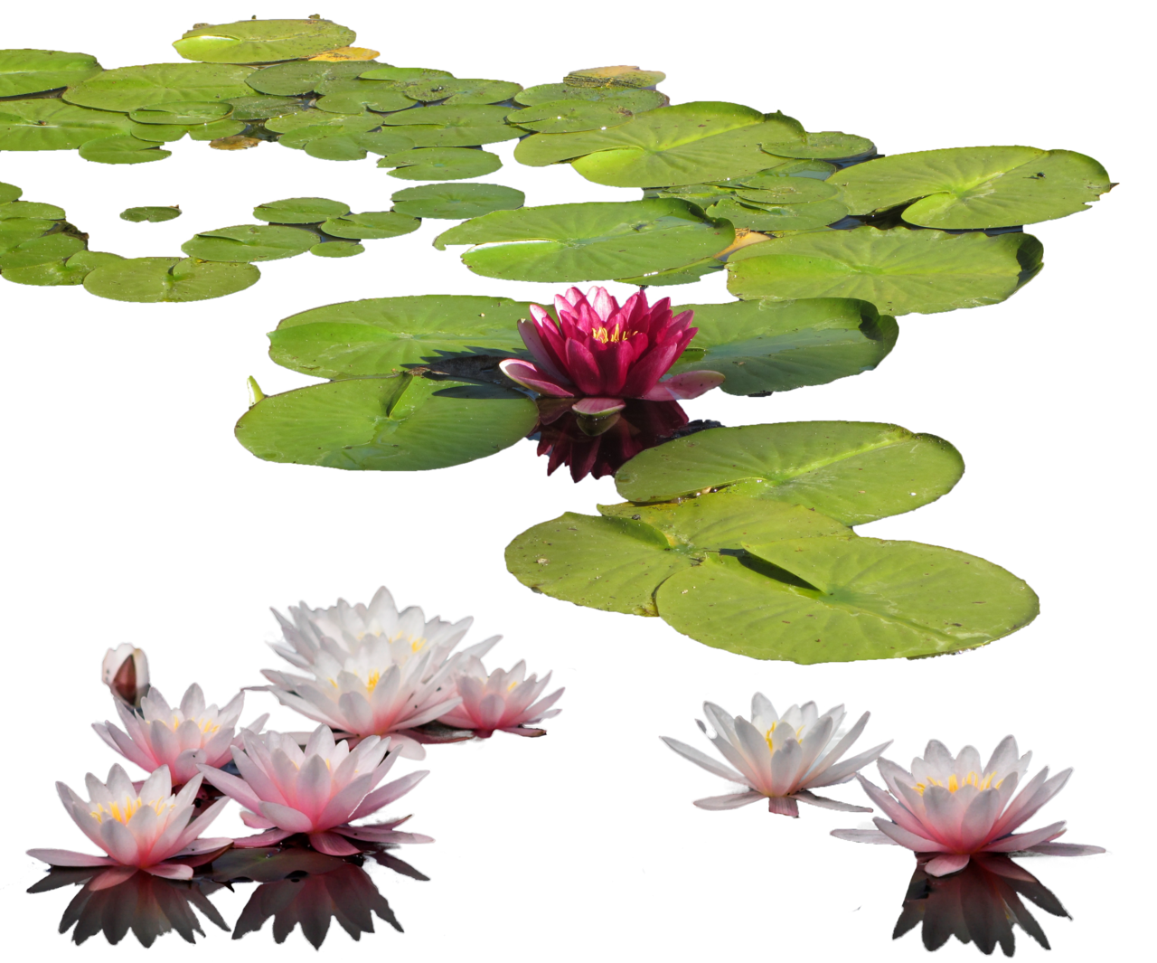 Water Lily PNG