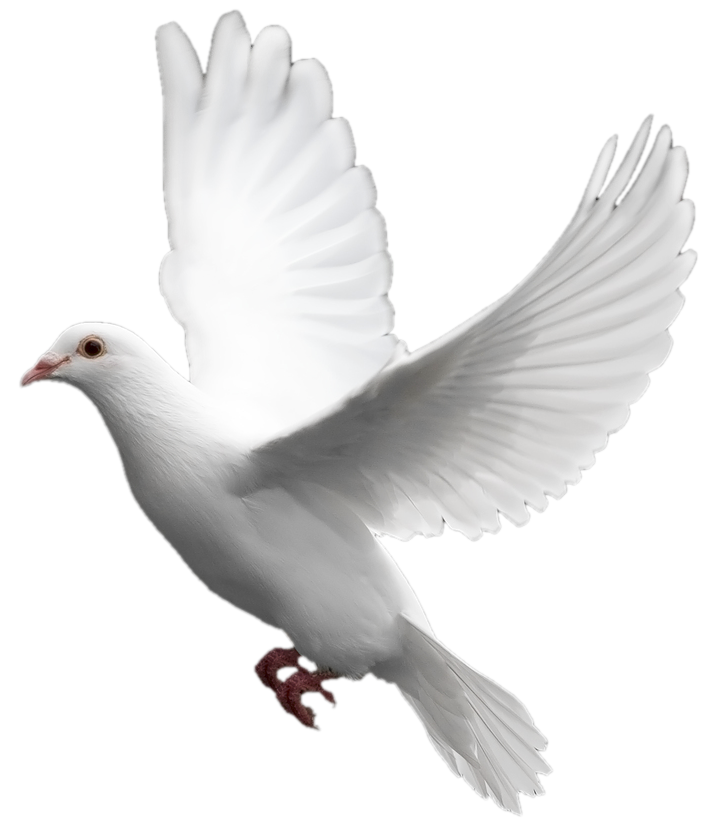White Flying Pigeon Png - Pigeon, Transparent background PNG HD thumbnail