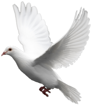 White Flying Pigeon Png Image - Pigeon, Transparent background PNG HD thumbnail