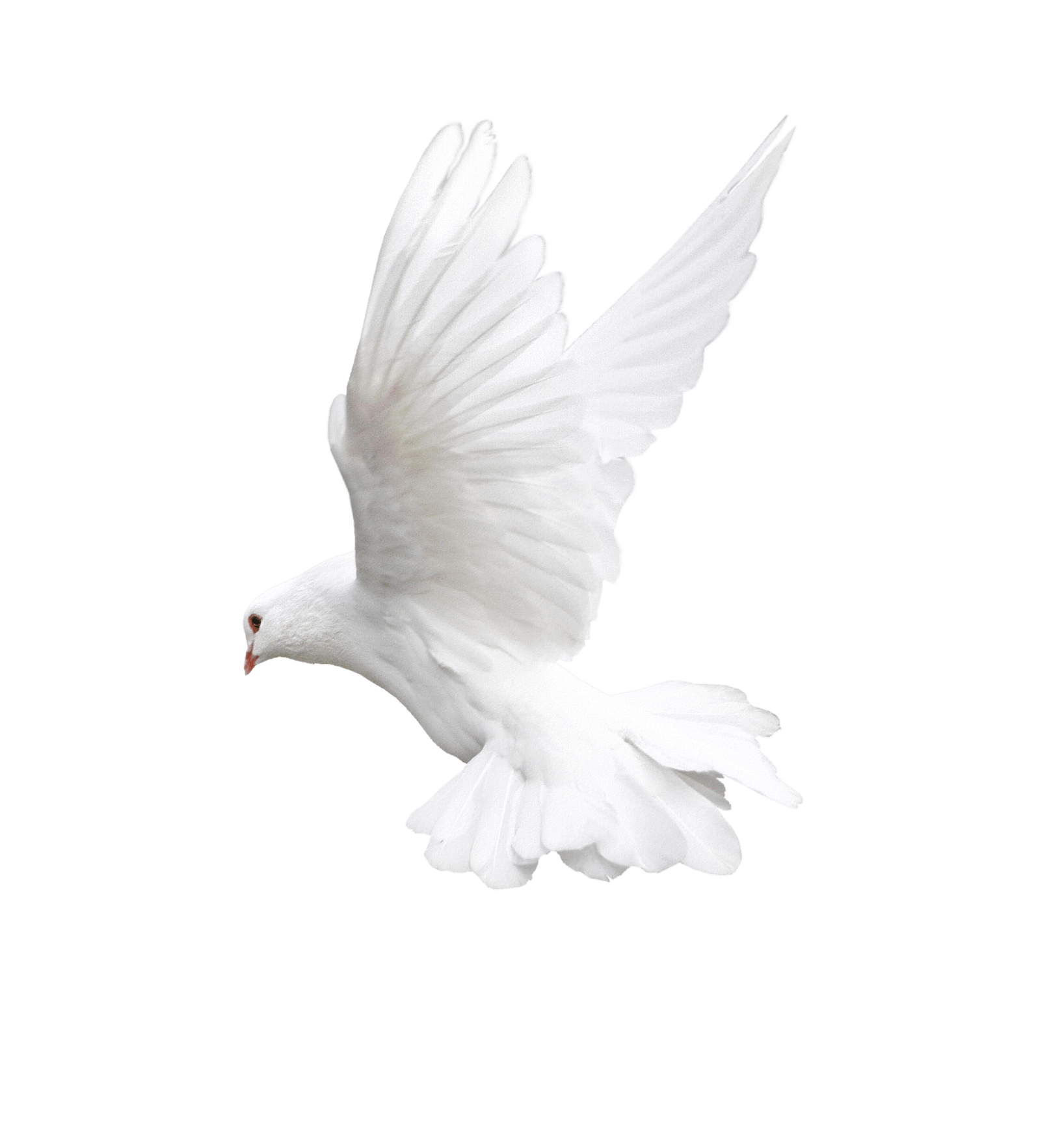 White Flying Pigeon Png Image Png Image - Pigeon, Transparent background PNG HD thumbnail