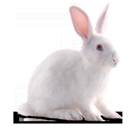 White Rabbit - Rabbit, Transparent background PNG HD thumbnail