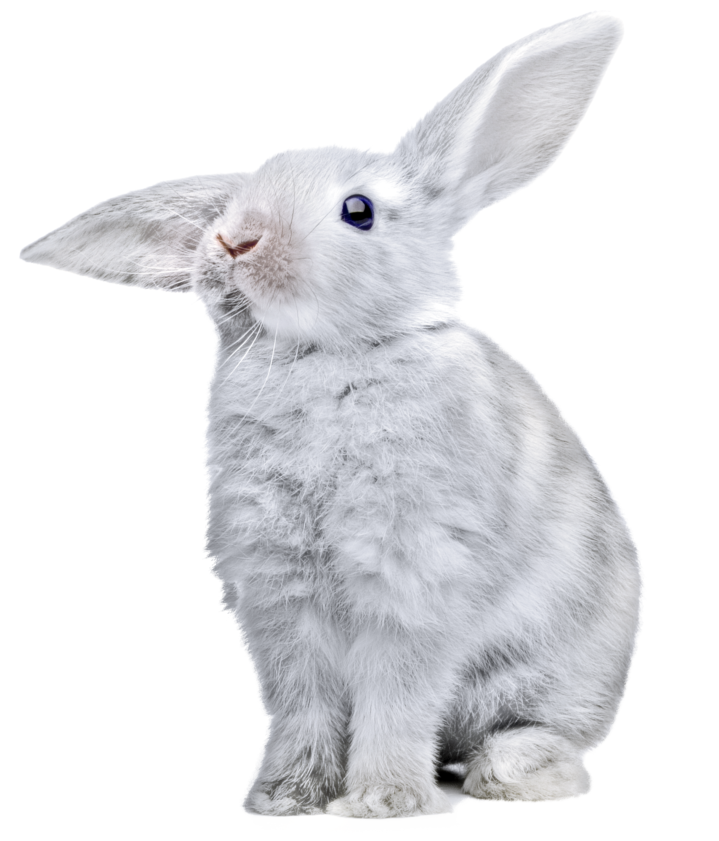 White Rabbit Png Image - Rabbit, Transparent background PNG HD thumbnail
