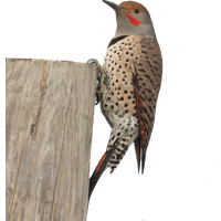 Woodpecker Picture Png Image - Woodpecker, Transparent background PNG HD thumbnail