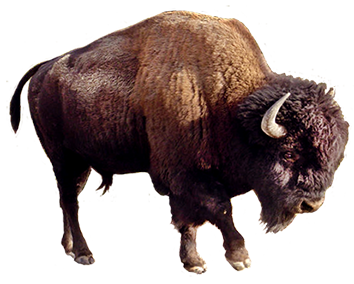 Yak Animal Png - Picture Of Brown Bear Clip Art, Bison Clipart, Transparent background PNG HD thumbnail