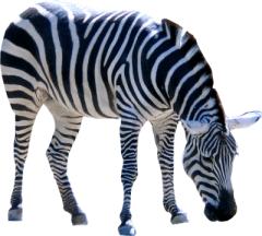 Zebra Png - Zebra, Transparent background PNG HD thumbnail
