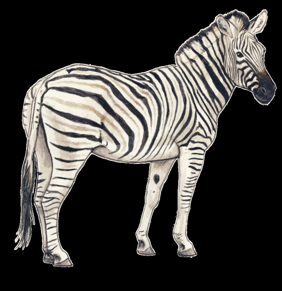 Zebra Png Clipart - Zebra, Transparent background PNG HD thumbnail