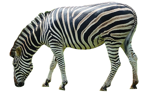Zebra Png Image - Zebra, Transparent background PNG HD thumbnail