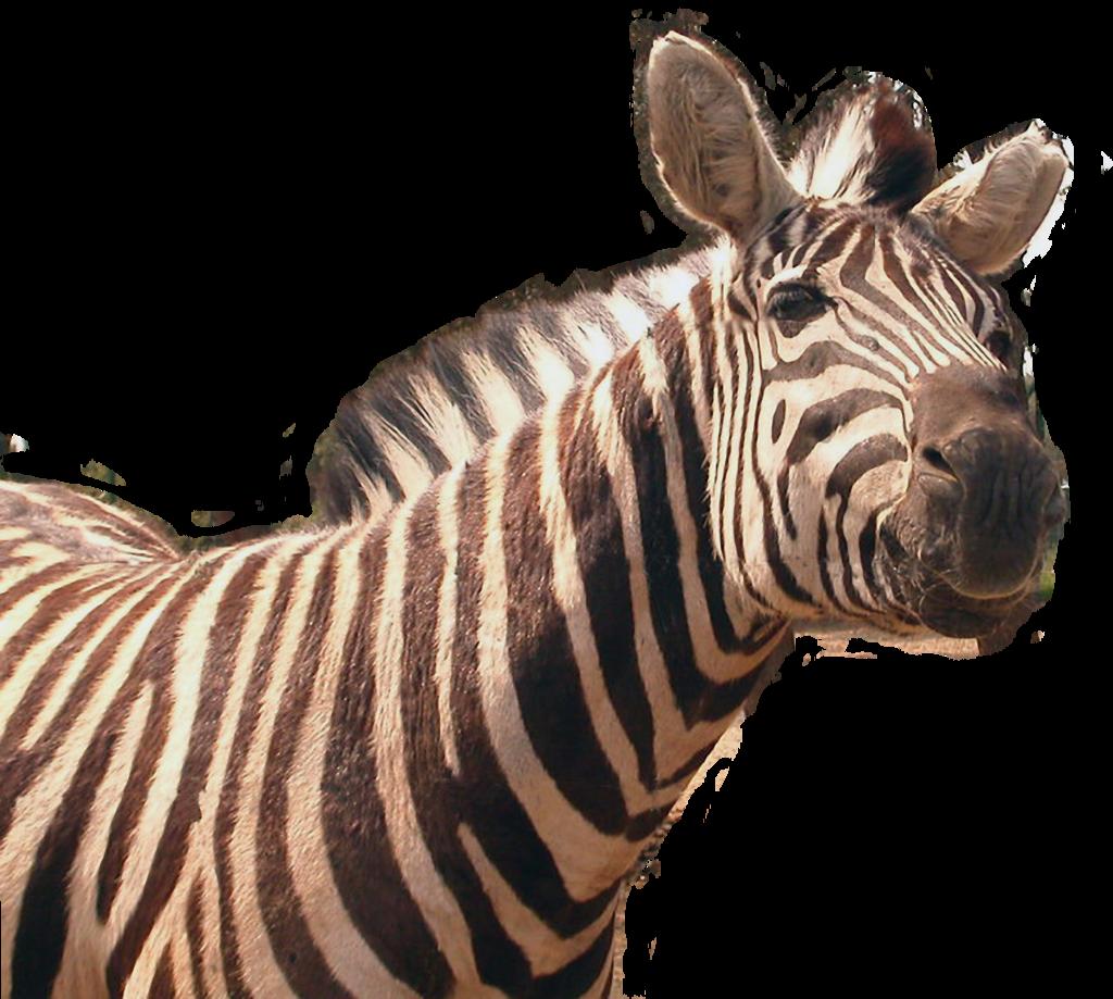 Zebra Png Transparent Image - Zebra, Transparent background PNG HD thumbnail